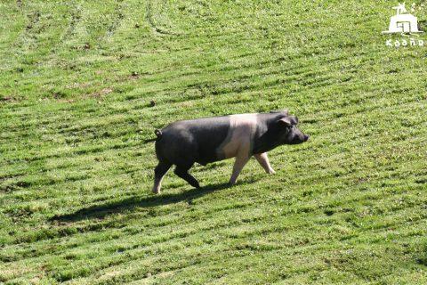 cerdo blanco y negro - ying y yang - unidad