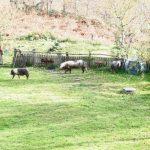 hoy 11 del 11 y 7 cerdos nos han visitado, su simbología